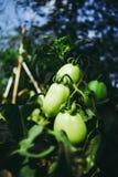 Tomates verdes orgánicos con el fondo de la falta de definición fotos de archivo libres de regalías