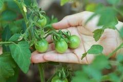 Tomates verdes que crecen en el jardín, mano que sostiene los tomates foto de archivo