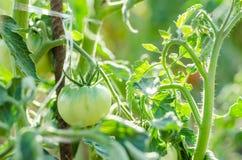 Tomates verdes que crecen en las ramificaciones Imágenes de archivo libres de regalías