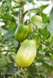 Tomates verdes que crecen en rama Imágenes de archivo libres de regalías