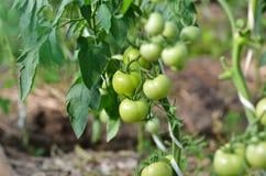 Tomates verdes que crecen en una rama en un invernadero Fotografía de archivo libre de regalías