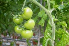 Tomates verdes que crescem em uma estufa Fotos de Stock Royalty Free