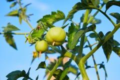 Tomates verdes verdes que crescem na cama do jardim fora fotografia de stock royalty free