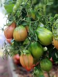 Tomates verdes verdes que crescem na estufa foto de stock royalty free