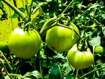 Tomates verdes que crescem na montanha de Laoshan imagem de stock