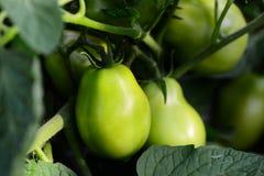 Tomates verdes verdes que crescem no jardim Alimento cru e cultivo Vegetais crescentes closeup fotos de stock