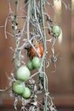 Tomates verdes - tomate de ciruelo de Roma Imágenes de archivo libres de regalías
