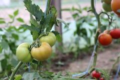 Tomates verdes verdes fotografia de stock