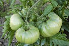 Tomates verdes y grandes Imagen de archivo libre de regalías