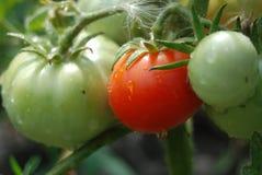 Tomates verdes y rojos Imágenes de archivo libres de regalías