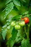 Tomates verdes y rojos en una rama Fotografía de archivo