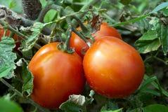 Tomates vermelhos crescentes no jardim vegetal Fotografia de Stock