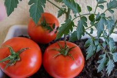 Tomates vermelhos deliciosos Tomates maduros vermelhos bonitos da herança crescidos em uma estufa Imagens de Stock