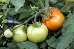 Tomates vermelhos e verdes Fotografia de Stock