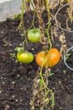Tomates vermelhos e verdes em um jardim imagens de stock royalty free