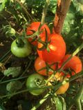 Tomates vermelhos e verdes em uma exploração agrícola orgânica fotos de stock