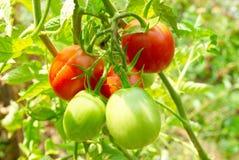 Tomates vermelhos e verdes no arbusto. imagens de stock