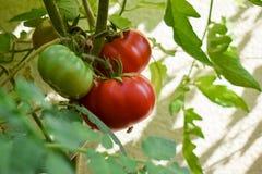 Tomates vermelhos ecológicos maduros frescos que penduram na videira no jardim Foto de Stock