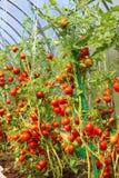 Tomates vermelhos em uma estufa Imagens de Stock