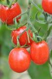 Tomates vermelhos frescos Imagem de Stock