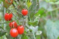 Tomates vermelhos frescos Imagens de Stock Royalty Free