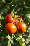 Tomates vermelhos na videira Imagem de Stock