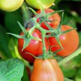 Tomates vermelhos que crescem no jardim Colheita de tomate Tomates vermelhos crescentes closeup foto de stock royalty free