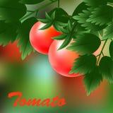 Tomates vermelhos, suculentos, maduros que crescem no ramo verde Vetor Imagens de Stock Royalty Free