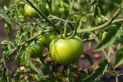 Tomates vertes Comcept d'agriculture Image libre de droits