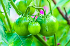 Tomates vertes Comcept d'agriculture Photos stock