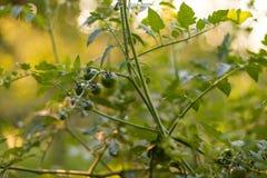 Tomates vertes dans le jardin éclairé à contre-jour Photos libres de droits