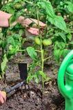 Tomates vertes dans le jardin Images libres de droits