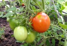 Tomates vertes dans le jardin Image libre de droits