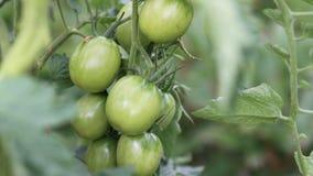 Tomates vertes dans le jardin, tomates sur la branche Images stock