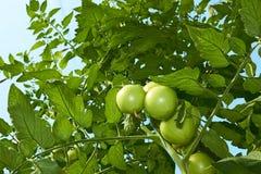 Tomates vertes de dessous image libre de droits