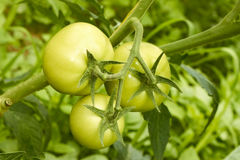 Tomates vertes en serre chaude photo stock
