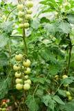 Tomates vertes en serre chaude Photographie stock libre de droits