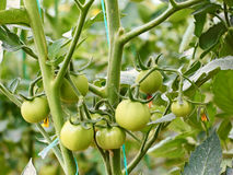 Tomates vertes en serre chaude image stock