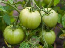 Tomates vertes fraîches Images libres de droits