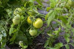 Tomates vertes mûres fraîches dans le jardin Légumes organiques croissants Nourriture saine, nourriture saine de vegan cru photos libres de droits