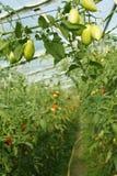 Tomates vertes oblongues accrochant en serre chaude Images libres de droits