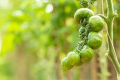 Tomates vertes s'élevant sur les branchements Photo libre de droits