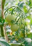 Tomates vertes sur la vigne Photo libre de droits