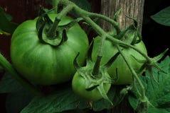 Tomates vertes sur la vigne Photographie stock