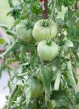 Tomates vertes sur le buisson Photos libres de droits