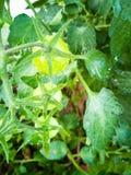 Tomates vertes sur les branches photo stock