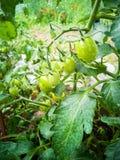 Tomates vertes sur les branches photographie stock