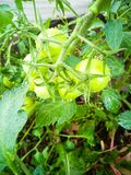 Tomates vertes sur les branches photos libres de droits