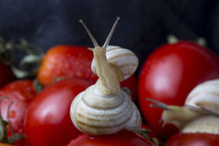 Tomates y caracol Fotos de archivo libres de regalías
