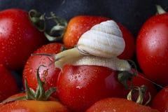 Tomates y caracol Fotografía de archivo libre de regalías